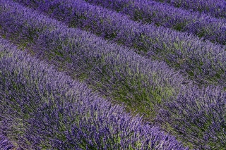 Lavender for Binky